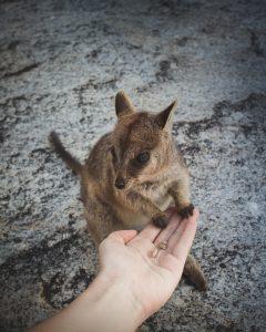 Ein kleines Wallaby im Nature George Park